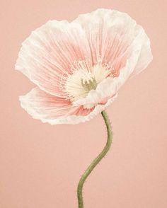 Paul Coghlin - Icelandic Poppy II