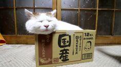 国産しろ Box and cat 2017#17