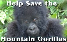 Mountain Gorillas are in critical danger of extinction.  Help us save them!!  http://www.lcanimal.org/index.php/campaigns/other-issues/save-the-mountain-gorillas