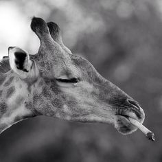 A giraffe in the Mkhuze Game Reserve, South Africa, chewing on an animal bone in order to extract minerals Animal Bones, Weird News, Game Reserve, Funny Faces, Wildlife Photography, Animal Kingdom, Hanging Out, South Africa, Cute Animals