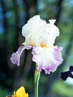 Bearded irises are among the most elegant and colorful perennials you can grow. With a little know-how, you can grace your garden with long-lasting, ever-multiplying blooms for years to come. Iris Garden, Garden Plants, Iris Flowers, White Flowers, Iris Rhizomes, Bearded Iris, Beautiful Gardens, Shrubs, Perennials