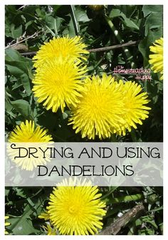 Dandelions are spring magic to me. Their Latin name is Taraxacum officinale and… Healing Herbs, Medicinal Plants, Weed Plants, Dandelion Recipes, Taraxacum Officinale, Dandelion Flower, Dandelion Uses, Wild Edibles, Growing Herbs