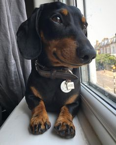 "2,917 Likes, 36 Comments - Monty the Mini Dachshund (@montyminidachshund) on Instagram: ""I will wait here all day every day until Mummy and Daddy are back!! """