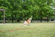 近所の公園で | 柴犬マコと、