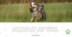 All the things we all enjoy about the Exuberant Aussie Pup Australian Shepherd Training, Aussie Shepherd, Blue Merle, I Love Dogs, Cute Dogs, Aussie Puppies, New Mexican, Herding Dogs, Dog Activities