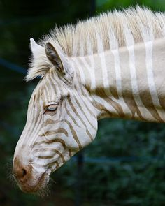 Born on the island of Moloka`i, Zoe is the only known captive white (golden) zebra in existence.  Photo by Bill Adams.