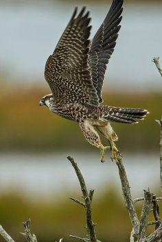 A Peregrine Falcon..