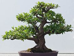 Japanese Bonsai Dwarf Pomegranate Seeds Flowering by CheapSeeds