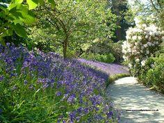 Bluebells at Trelissick Gardens