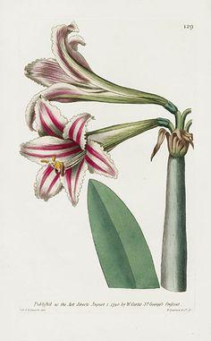 Superb Amaryllis – William Curtis Botanical Magazine Antique Prints 1787-1817