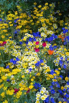 Mixed beautiful Western American native wildflowers in goldyellow orange blue variety of colorful blooms Linum poppy Eschscholzia californica Limnanthes douglasii blue Phacelia campanularia Fetzer Garden 2007 Chelsea Flower Show Beautiful Flowers Garden, Flowers Nature, Pretty Flowers, Blue Flowers, Beautiful Gardens, Wild Flowers, Bohemian Flowers, Meadow Garden, Cottage Garden Plants