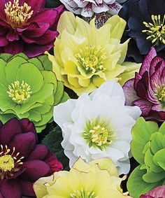 Look at this #zulilyfind! Double Yellow Hellebores Plant by Spring Hill Nursery #zulilyfinds