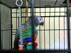 VIDEO-----Best talking parrot in the world! Clover the African Grey knows 350 words!---DEFINATLY WORTH WATCHING!!!