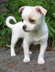 Primrose is an adoptable Chihuahua Dog in Issaquah, WA. Female Chihuahua/Terrier mix Approximately 11 weeks old Approximately 3.14 lbs ......