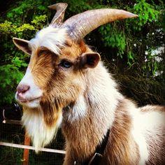 Billy the Billy Goat