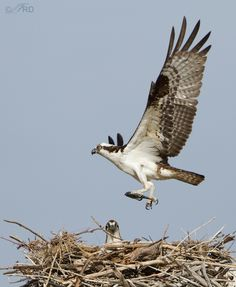 Nesting Osprey at Flaming Gorge - Cool!