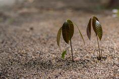 Mladé mango. Foto: Shutterstock