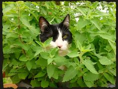 Catnip is so easy to grow, comes back every year and my kitties love it!!!