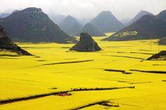 Campo de flores canolas, China Em toda primavera surge um oceano de flores amarelas no condado de Luoping, uma área pouco desenvolvida a leste da Província de Yunnan, na China. São canolas, usadas para a produção de óleo para humanos, animais e biocombustível.