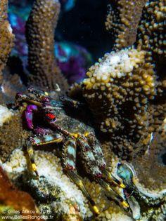 photo-plongee-thailande-koh-bon-crabe