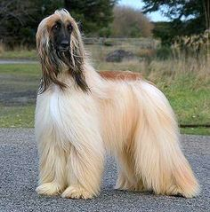 Afghan Hound - so elegant and beautiful Love these dogs. Looks just like Trin. Big Dogs, Dogs And Puppies, Horse Dance, Dog Breed Info, Akc Breeds, Photo Animaliere, Tibetan Terrier, Afghan Hound, Purebred Dogs