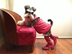 Fashion and Schnauzer, I love Schnauzers & that's just cruel, these are dogs not children