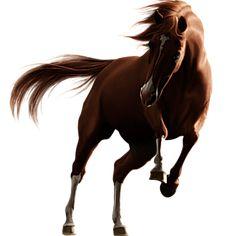 Solai, Pferd Holsteiner Dunkelfuchs #11023692 - Howrse