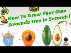 how to grow avocado - Поиск в Google