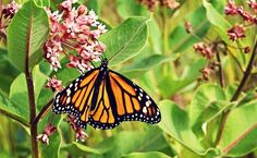 Why Millions of Monarch Butterflies Are Dying in Mexico
