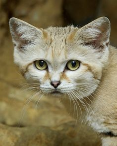 Sand Cat Debuts at Smithsonian's National Zoo Photo Credit: Clyde Nishimura , Smithsonian's National Zoo Small Wild Cats, Big Cats, Cats And Kittens, Cute Cats, Funny Cats, Kitty Cats, Amazing Animal Pictures, Funny Cat Pictures, Desert Animals