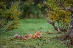I've been layin' right here all day!  One of the fox kits in camp  another late night shot