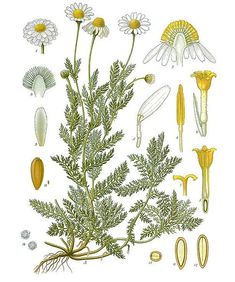 Roman Chamomile - used since ancient times - relaxing and calming. Steep the flowers in water to make a hair rinse to naturally lighten the hair. (The smell always reminds me of apple pie)
