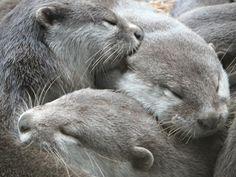 Otter Cuddle Puddle - April 21, 2011