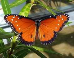 "Queen Butterfly by Jill Staake (from ""Simple Butterfly Photography Tips"" @ Birds & Blooms)"