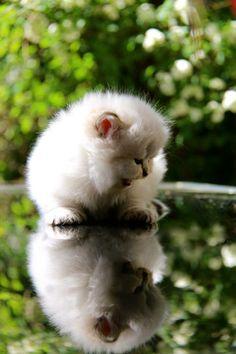 British longhair seal golden tabby point kitten