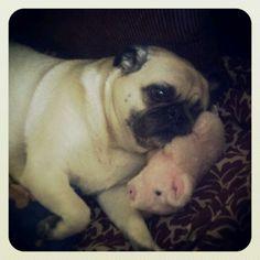 My puggy using his piggy as a pillow pet :)