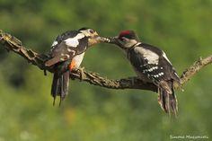 Picchio rosso maggiore - Woodpecker by Simone Mazzoccoli on 500px