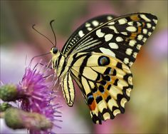 Common Lime Butterfly, aka Lemon Butterfly (Papilio demoleus) by Martien Uiterweerd