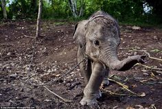 Raja was torn away from his mother when he was only a few months old and was chained to a tree in a Sumatran village. Villagers claimed that their crops were damaged by his family, and unbelievably decided to hold him prisoner in retaliation.