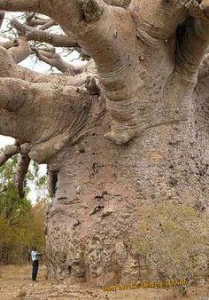 Die besten 100 Bilder in der Kategorie baeume: Riesen Baum - Affenbrotbaum?
