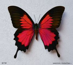 Papillio Ulysses Colorful Butterfly in by fineartdesigngallery
