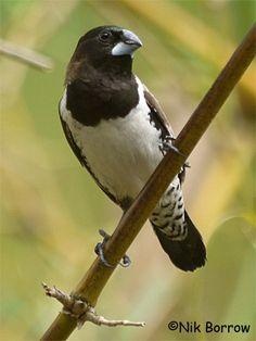 Birds Bronze Mannikin, Ghana