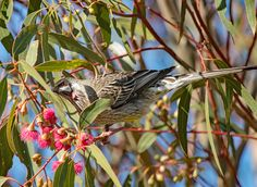 Red Wattlebird - Yerrabi Pond, ACT