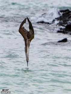 diving juvenile Northern Gannet (relative of the blue-footed Booby)