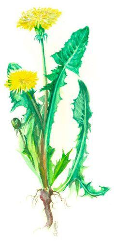 Löwenzahn - Meisterkräutertherapie Taraxacum Officinale, Kraut, Plant Leaves, Plants, Healthy Herbs, Flowers, Drinking, Health, Essen