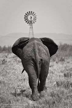 I took this photo in the Kruger National Park in South Africa a few years ago. This elephant was on a mission to get the the windmill in front of him because that's where the water is. If you've ever seen elephant in the wild you'll know they can spend hours playing in water. This guy was clearly very thirsty. ;) - nigelivy.com