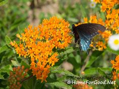 Missouri Wildflowers; Butterfly Weed