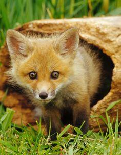 Fox in a log....