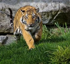 """This image titled ""Bengal Tiger Approaching"" was taken at the Cougar Mountain Zoo in Issaquah, Washington. They have 4 Bengal Tigers in a great habitat. Definitely worth a visit if you are in the area."" Photo by Gary Hamburgh Issaquah Washington, Save The Tiger, Types Of Animals, Image Title, Bengal Tiger, Domestic Cat, Big Cats, Old Houses, Tigers"