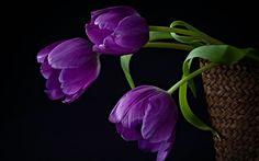tulip photos black background | Purple Tulips Background - Hd Desktop Wallpaper Purple Tulips, Purple Love, All Things Purple, Tulips Flowers, Flowers Nature, Shades Of Purple, Beautiful Flowers, Purple Stuff, Purple Rain